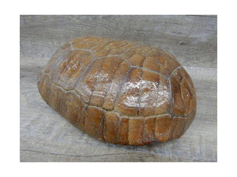 Complete Turtle Shell