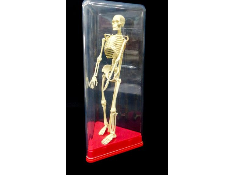 Plastic Skeleton Model with Case