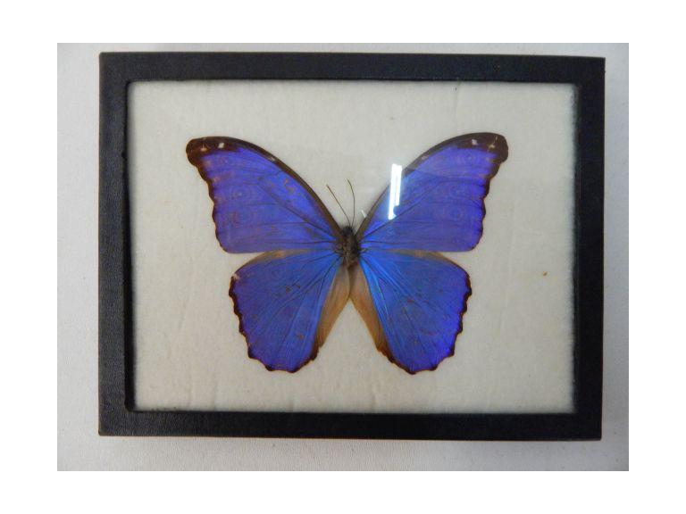 Genuine Encased Butterfly